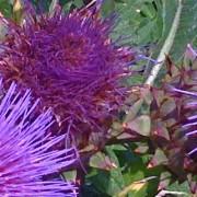 Cardon en fleur