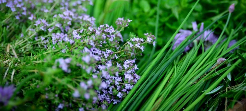 aromatique,herbe,plante