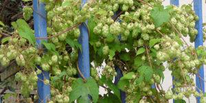 Houblon Humulus lupulus 300x150 - 3 plantes très efficaces pour lutter contre l'insomnie