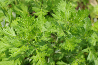 Armoise commune petite photo par reflets de vert - la Saint Jean et ses 7 plantes sacrées et leurs bienfaits