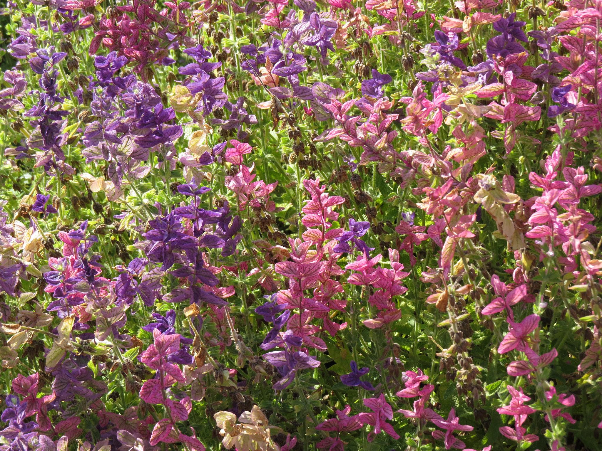 La sauge, une sacrée plante : vidéo pour en savoir un peu plus