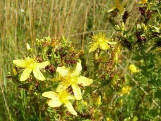 Millepertuis herbe de la saint jean photo par bpmm e1341413416499 - la Saint Jean et ses 7 plantes sacrées et leurs bienfaits