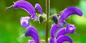 Sauge des prés Salvia pratensis lamiacée 300x150 - la Saint Jean et ses 7 plantes sacrées et leurs bienfaits