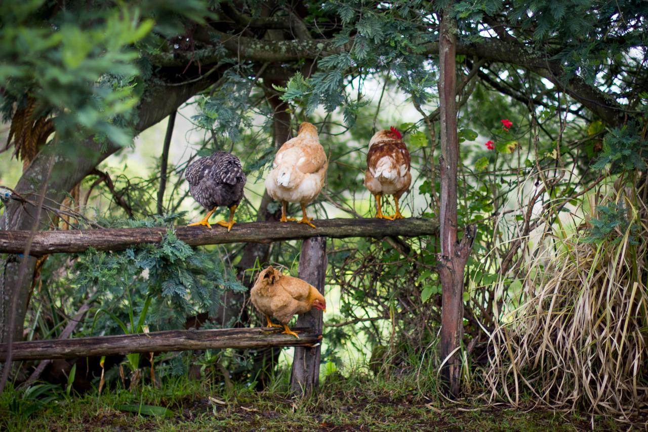 Poules - Comment élever des poules pondeuses pour avoir des œufs frais