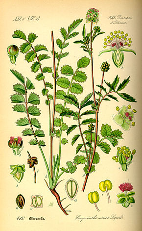 Pimprenelle 290px Illustration Sanguisorba minor0 - La pimprenelle une plante antiseptique naturel pour les blessures