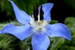 Bourrache photo par nicolas gent e1358789659491 - Plantes et herbes de la Saint Jean - les 27 Simples Médicinales
