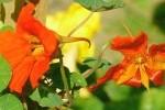 Capucine comestible photo par gelinh e1358790005412 - Plantes et herbes de la Saint Jean - les 27 Simples Médicinales