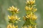 Gentiane jaune photo par jcmorand e1358791070629 - Plantes et herbes de la Saint Jean - les 27 Simples Médicinales