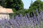 Lavande photo par kahala e1358806059137 - Plantes et herbes de la Saint Jean - les 27 Simples Médicinales