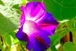 MAUVE photo par gelinh e1358807064633 - Plantes et herbes de la saint jean, les 27 Simples Médicinales