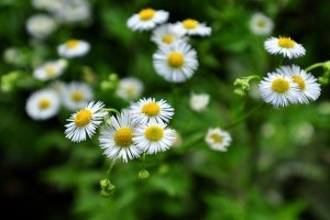Plantes dites les simples de la Saint-Jean, vue d'ensemble