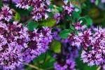 Marjolaine ou Origan photo par bracchettid e1358806571899 - Plantes et herbes de la Saint Jean - les 27 Simples Médicinales