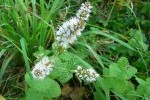 Menthe sauvage photo par JG65 e1358808637668 - Plantes et herbes de la Saint Jean - les 27 Simples Médicinales