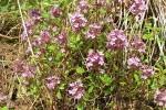Serpolet photo par pascal e1358809517728 - Plantes et herbes de la saint jean, les 27 Simples Médicinales