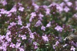 Thym photo par elikozoe e1358809655168 - Plantes et herbes de la saint jean, les 27 Simples Médicinales