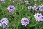 Verveine Verbena officinalis photo par wallygrom e1358809812913 - Plantes et herbes de la Saint Jean - les 27 Simples Médicinales