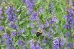 hysope hysopus officinalis e1358805797838 - Plantes et herbes de la saint jean, les 27 Simples Médicinales