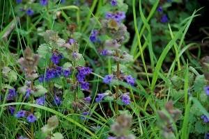 lierre terrestre 1 photo par bpmm e1358851331633 - Plantes et herbes de la Saint Jean - les 27 Simples Médicinales