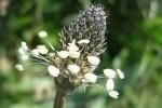 plantain photo joysaphine e1358809048280 - Plantes et herbes de la Saint Jean - les 27 Simples Médicinales