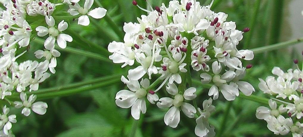 L 39 ang lique plante immunitaire for Plante angelique
