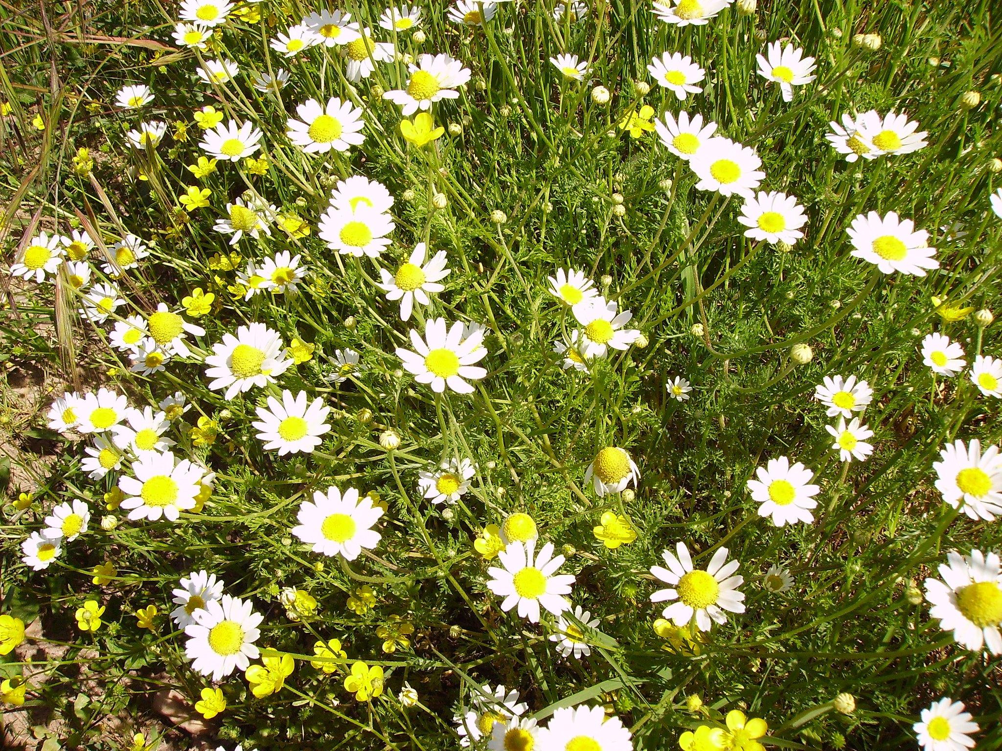 Marguerite commune - Plantes et Herbes : les Simples de Saint Jean - vue d'ensemble