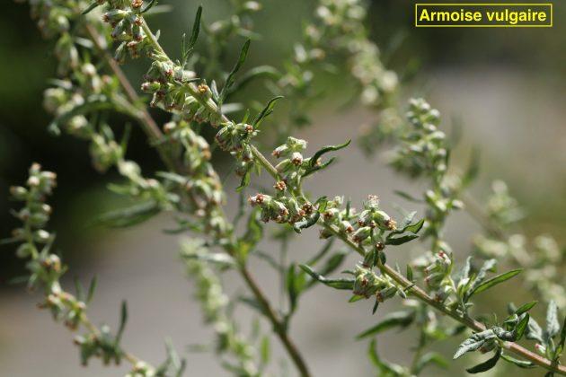 armoise vulgaire 630x420 - Plantes et Herbes : les Simples de Saint Jean - vue d'ensemble