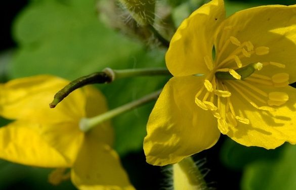 Celandine an antispasmodic and antibacterial plant |  THE ...