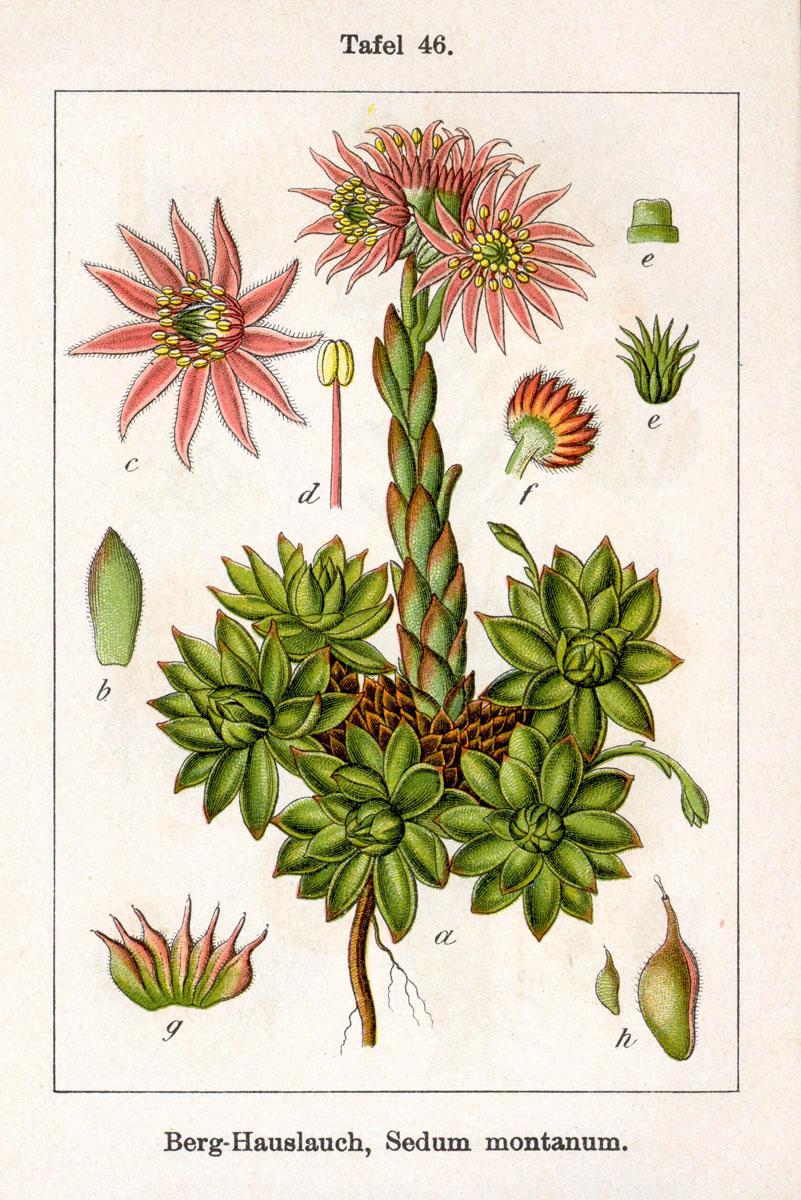 Sempervivum montanum Sturm 46 - La Joubarbe une plante pour la peau et contre les brûlures