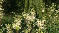 210px ReineDesPrésFLo 531 - Plantes et herbes de la saint jean, les 27 Simples Médicinales