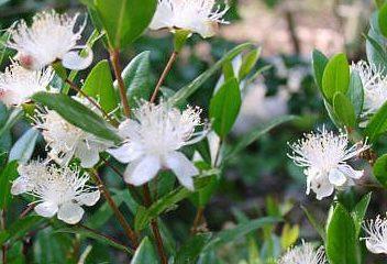la myrte 2 e1549304567749 - Plantes et herbes de la saint jean, les 27 Simples Médicinales