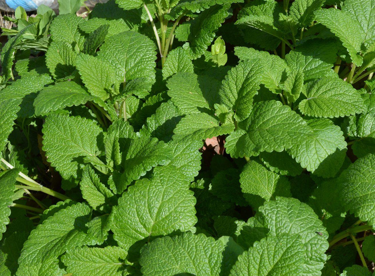 melisse 1 e1549303968498 - Plantes et herbes de la Saint Jean - les 27 Simples Médicinales