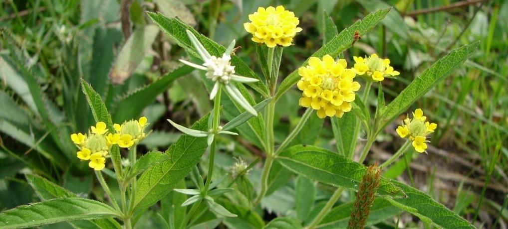 10 plantes aromatiques dites les simples à cultiver chez vous
