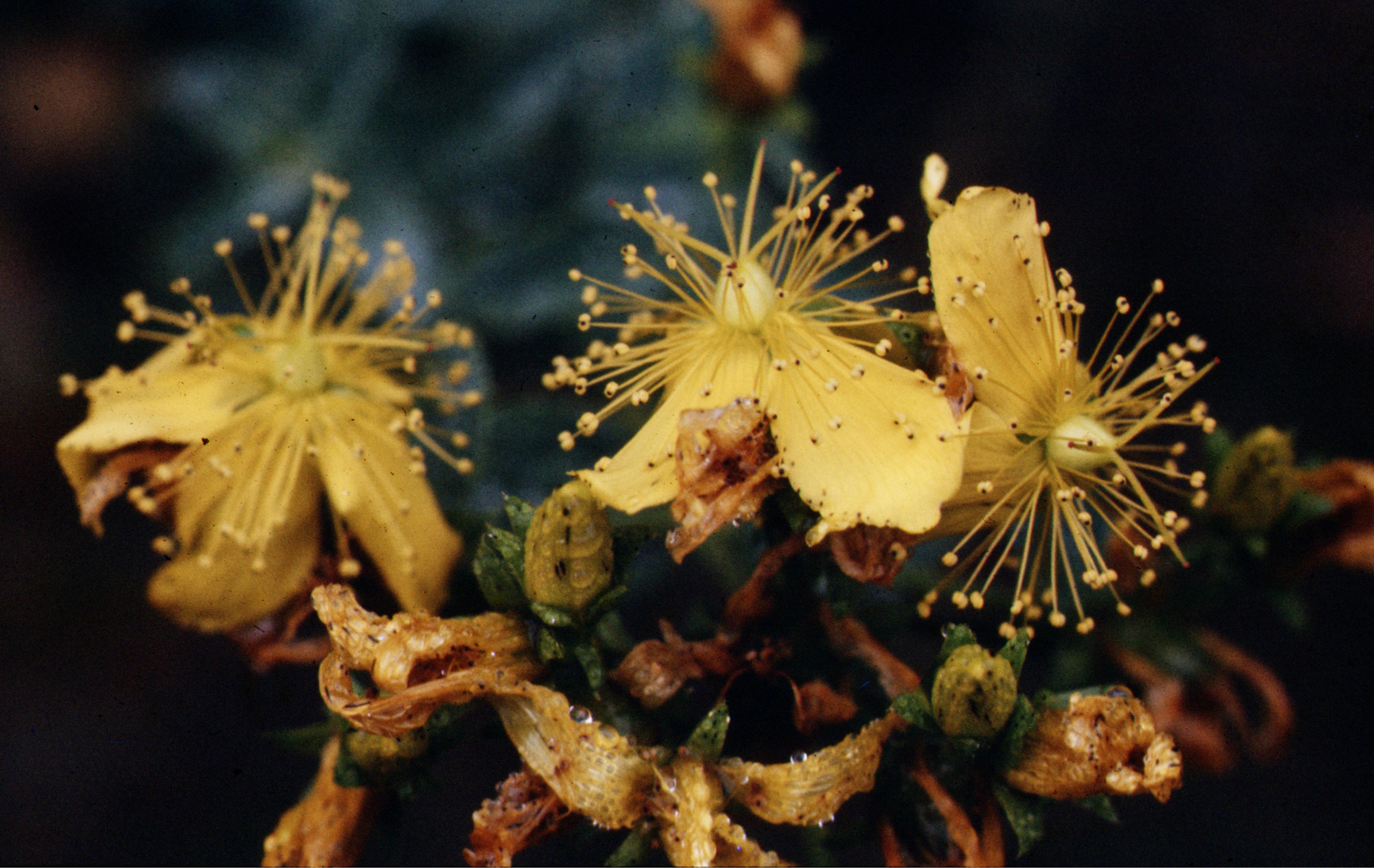 le millepertuis et les plantes magiques de la Saint-Jean - vidéo