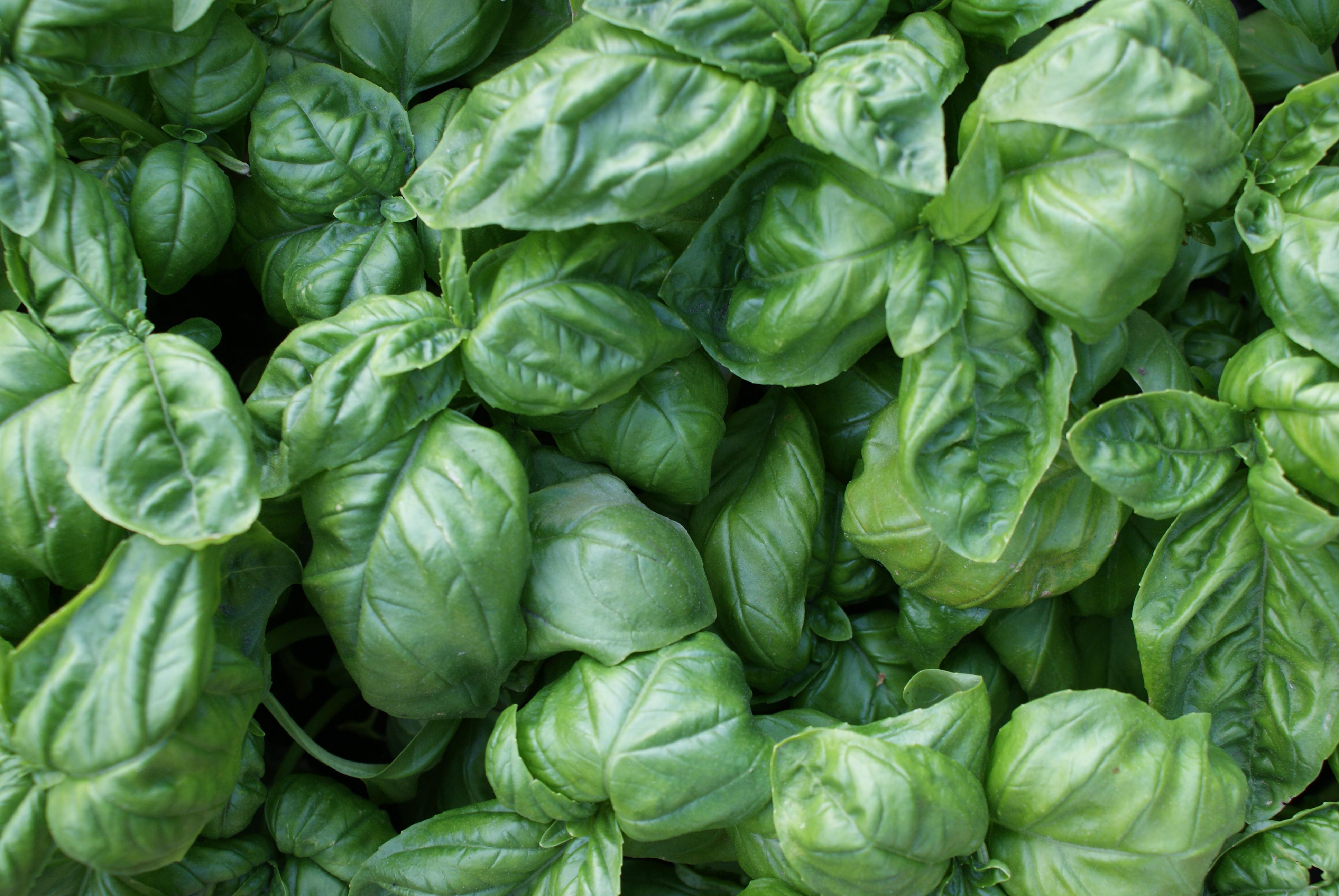 Basilic - Les feuilles de basilic amies aromatiques de notre estomac