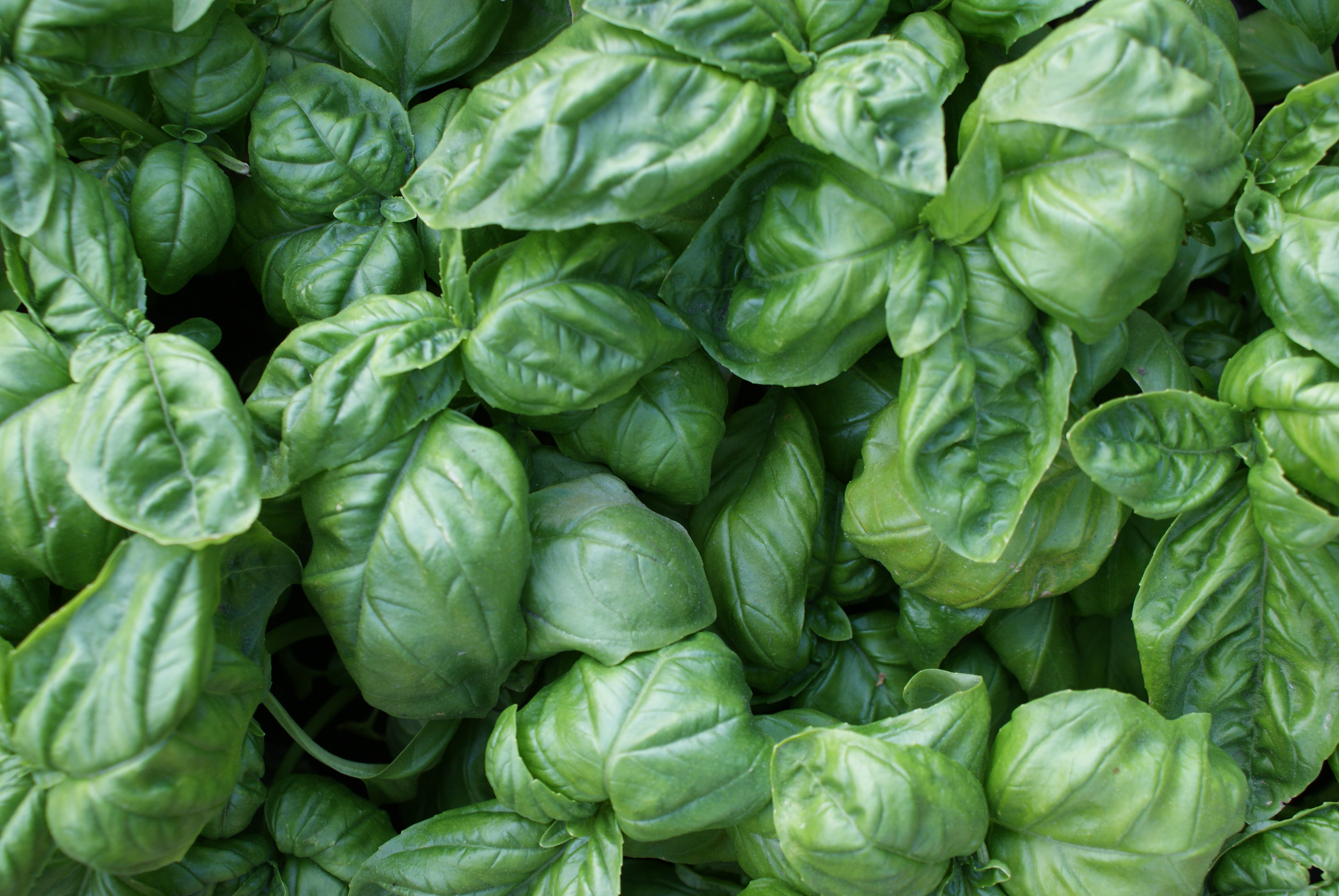 Les feuilles de basilic amies aromatiques de notre estomac