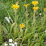 arnica carre - 9 plantes médicinales et leurs recettes pour soulager la douleur