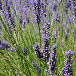 lavande carre - 9 plantes médicinales et leurs recettes pour soulager la douleur