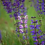 sauge carre - 9 plantes médicinales et leurs recettes pour soulager la douleur