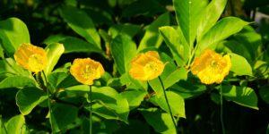 pavot 300x150 - 3 plantes très efficaces pour lutter contre l'insomnie