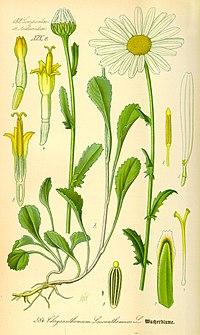 Marguerite 200px Ilustración Chrysanthemum leucanthemum0 - La Marguerite - A Herb de Saint-Jean con múltiples beneficios