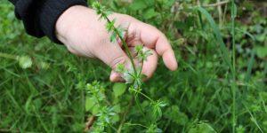 4 plantes sauvages comestibles à découvrir dans nos sous-bois