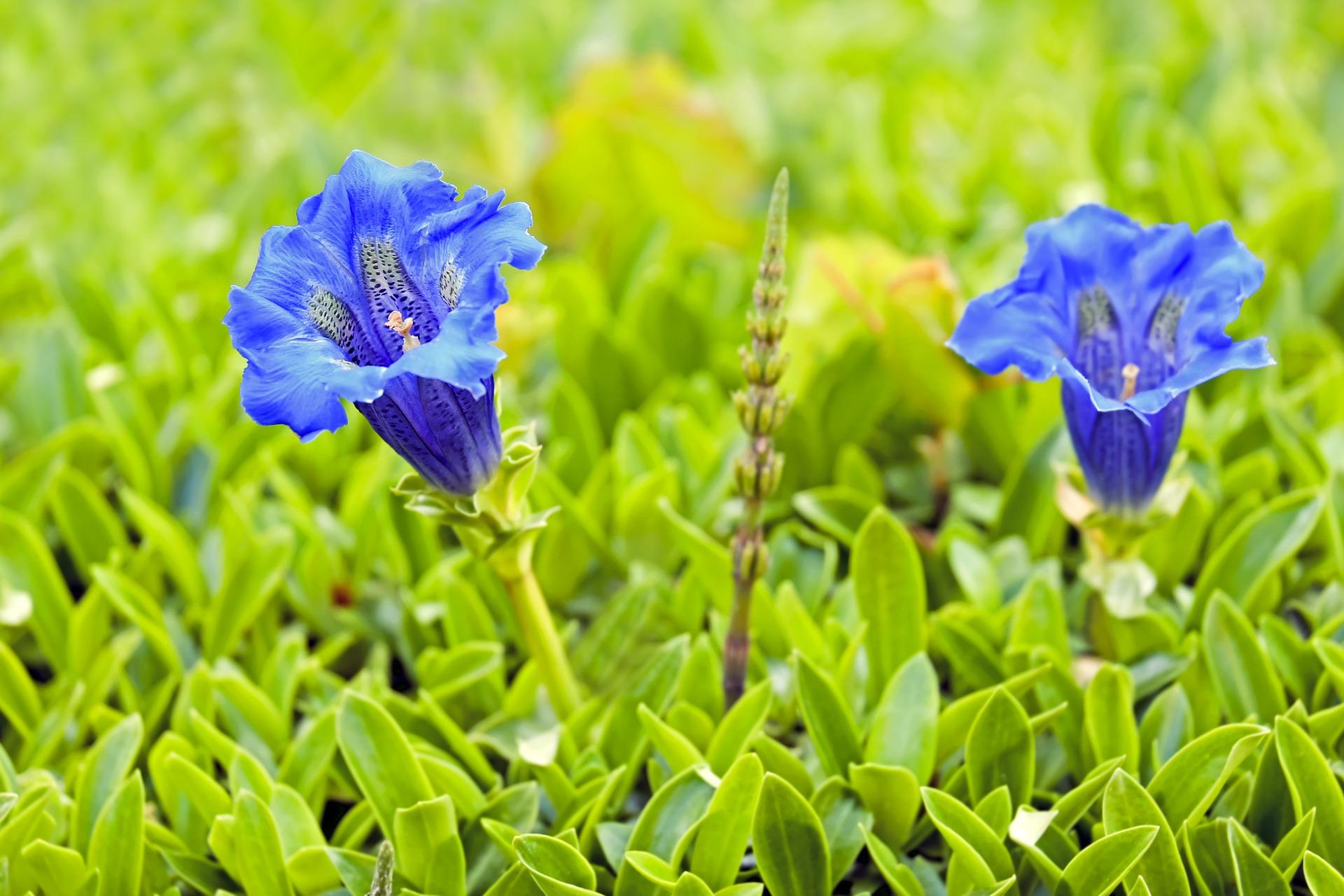 Image parIlona Frey de Pixabay gentian 2252350 1920 - Se soigner par les plantes