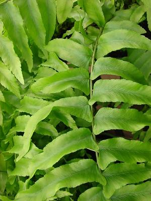 NEPHROLEPIS 1 - Canicule : 9 plantes qui garderont l'air frais dans votre maison