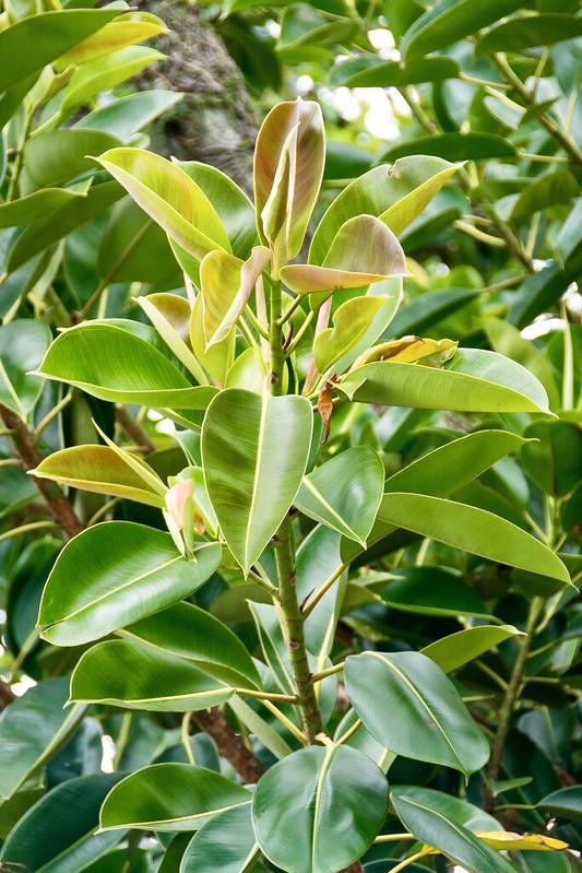 caoutchouc - Canicule : 9 plantes qui garderont l'air frais dans votre maison