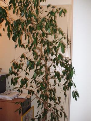 ficus - Canicule : 9 plantes qui garderont l'air frais dans votre maison