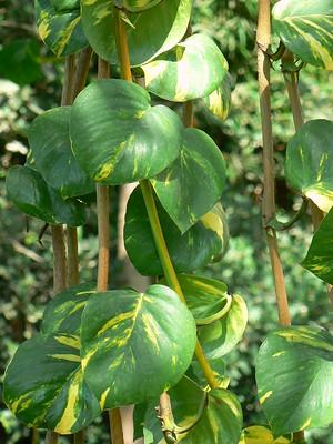 pothos - Canicule : 9 plantes qui garderont l'air frais dans votre maison