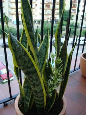 sanseviera - Canicule : 9 plantes qui garderont l'air frais dans votre maison
