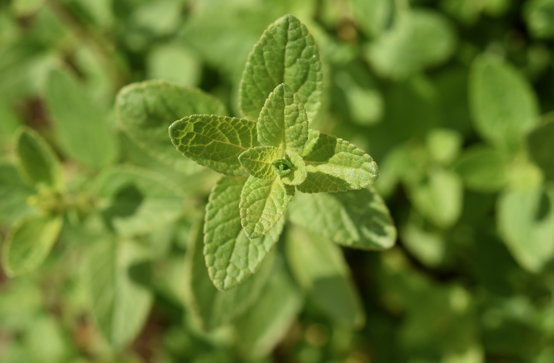 la sauge ( salvia officinalis) : dans le secret des plantes