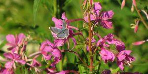 chardon marie 300x150 - Plantes sauvages médicinales à cueillir en balade à la campagne