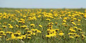 pissenlit 300x150 - Plantes sauvages médicinales à cueillir en balade à la campagne